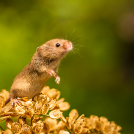 Is that a bird? by Garry Chisholm - Animals Other Mammals ( macro, mammal, rodent, harvest mouse, anture, mice, garry chisholm )