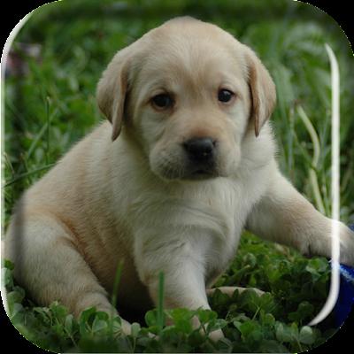 Labrador Puppy Live Wallpaper