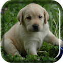 Labrador Puppy Live Wallpaper icon