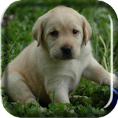 Labrador Puppy Live Wallpaper