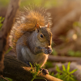 Snack Time by Robert Mullen - Animals Other Mammals ( animals, park, squirrels, greensprings park, nuts, sunshine, spring )