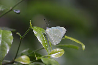 Photo: Antheap white (Dixea)
