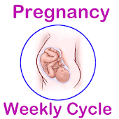 Weekly Pregnancy Cycle