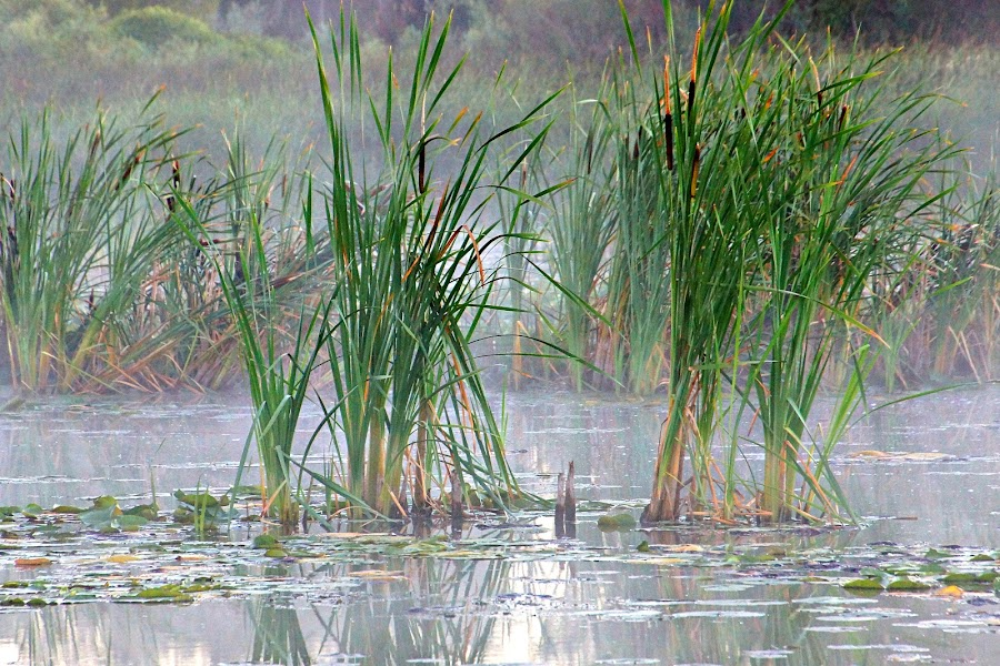Cattails by Gaylord Mink - Nature Up Close Leaves & Grasses ( pond, plants, water, cattails )