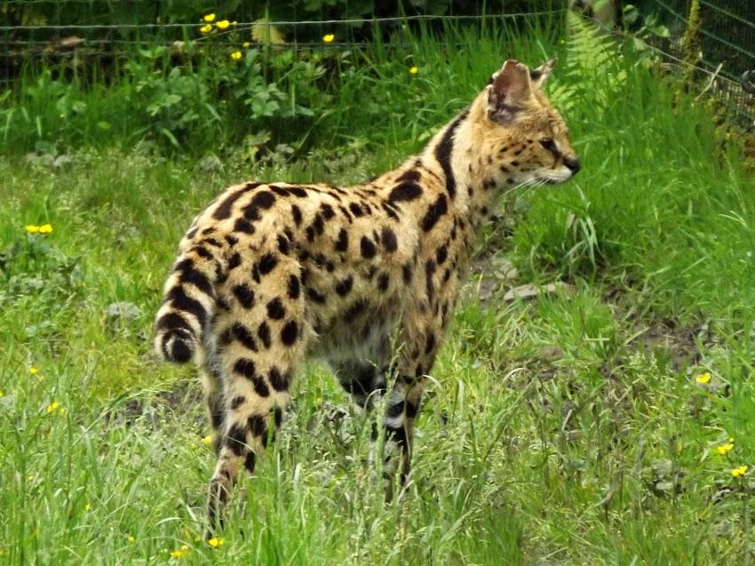 Serval, Jurques - Tous droits réservés