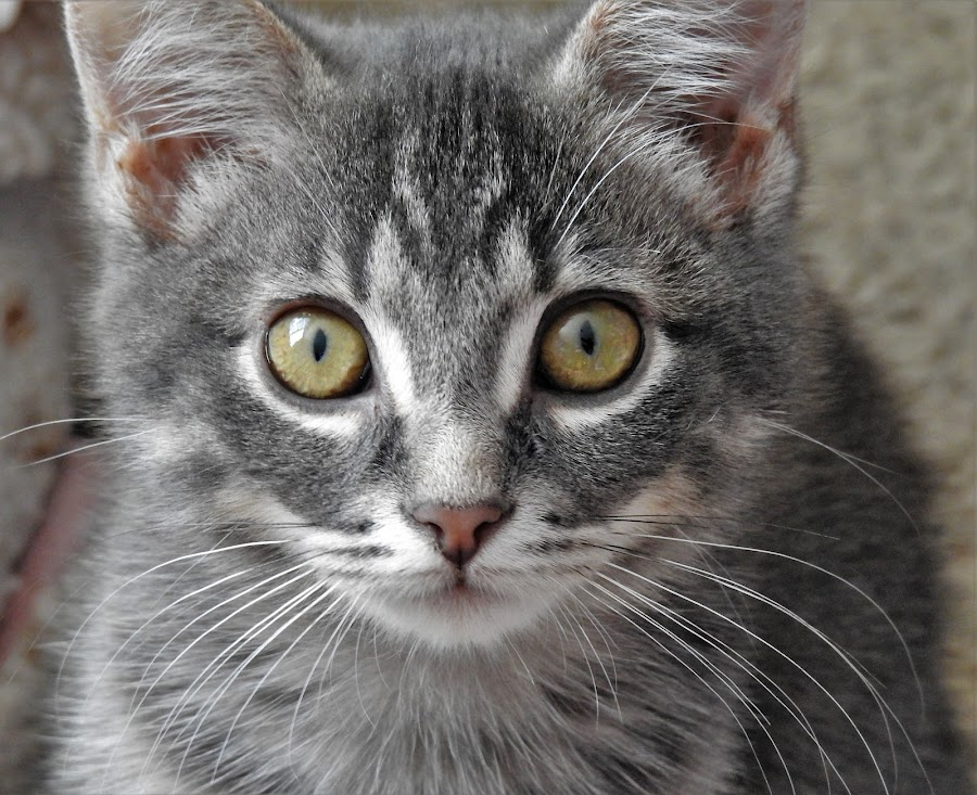Green Eyes by Kathy Woods Booth - Animals - Cats Kittens ( whiskers, face, kitten, eyes, kitty,  )