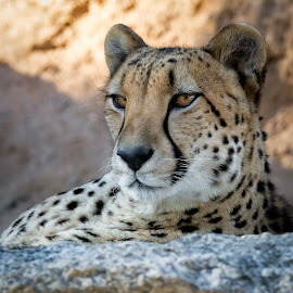 Cheetah by Dave Lipchen - Animals Lions, Tigers & Big Cats ( cheetah )