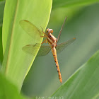 Asian Dragonfly