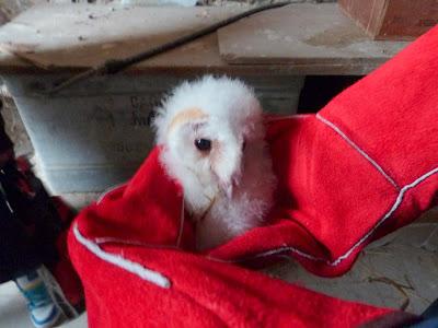 Els pollets dòliba ja són a les golfes de ledifici