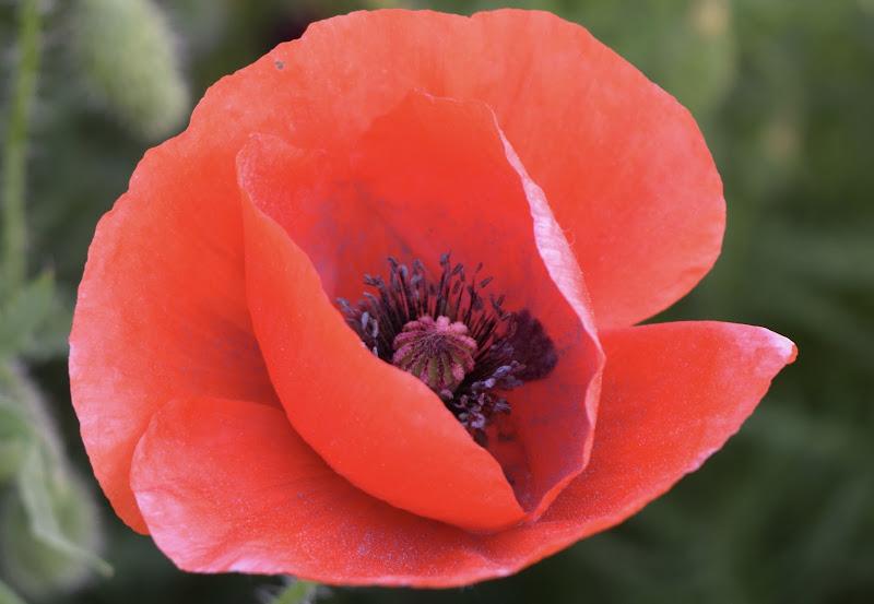 Fiore Papavero di eskerica