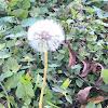 Common dandelions