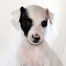 Photo: 'Wink' - A Very Special Italian Greyhound Puppy!