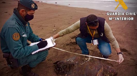 Recuperan una tortuga boba muerta y de gran envergadura varada en San José