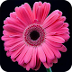 HD Gerbera Flower Wallpaper APK