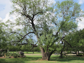 Photo: Our last tree for the day: this honey mesquite tree (Prosopis glandulosa var. glandulosa) located at the Will Rogers Memorial Coliseum in Fort Worth's museum district.