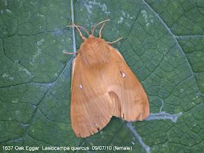 Photo: Female Oak Eggar