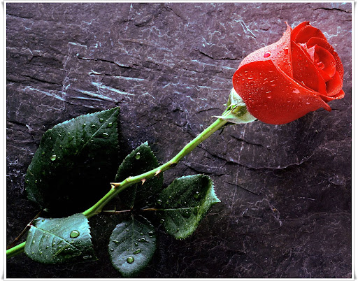 Red Rose for True Love Forever Stock Images