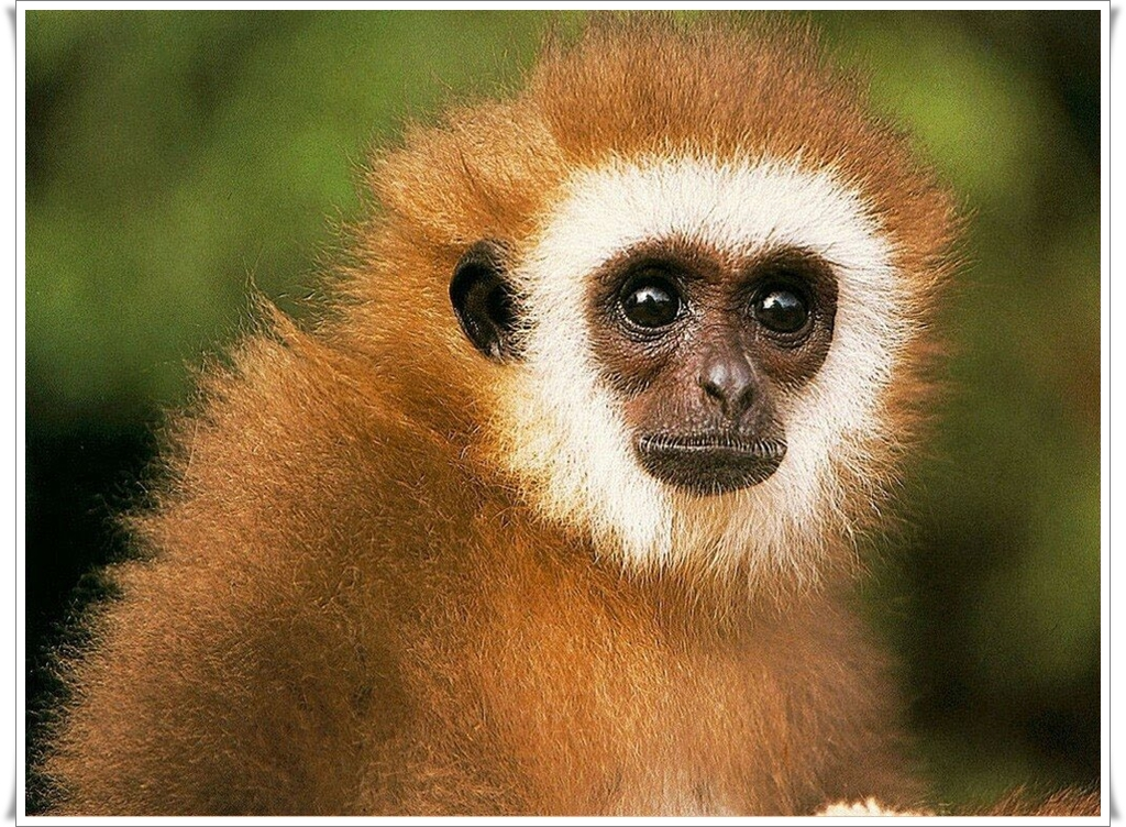 qq wallpapers monkey desktop wallpaper