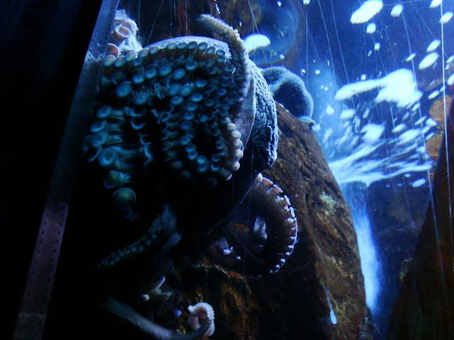 A to ośmiornica z Akwarium Gdyńskiego