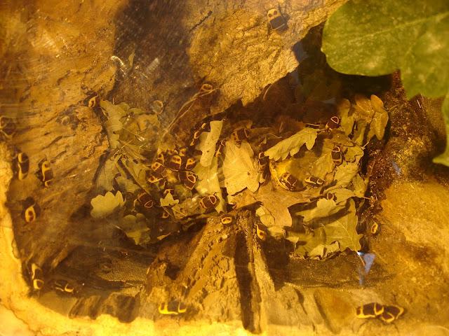 Żuki kongijskie