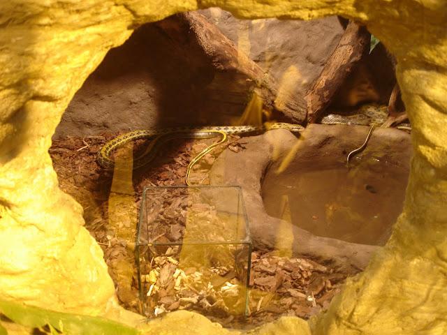 Węże tajwańskie i ptasznik