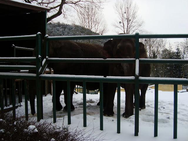 Słonie na śniegu