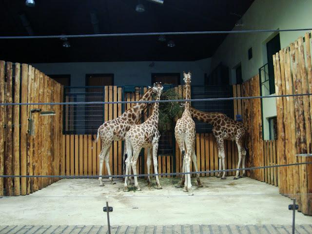 Cała czwórka oliwskich żyraf