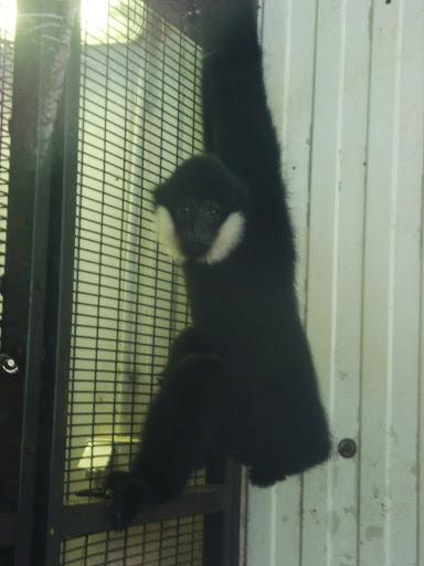 Gibbon czarny