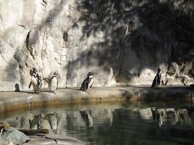Wybieg pingwinów Humboldta - zoo w Providence