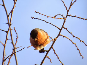 Photo: Priorslee Lake Another view of the feeding male Bullfinch. (Ed Wilson)