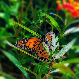 Visitor by Anne LiConti - Instagram & Mobile Android ( #garden, #mobilephotography, #phonephoto, #mobilephoto, #mobile, #instagram, #butterflygarden, #monarch, #monarchbutterfly, #butterfly, #phonephotography )