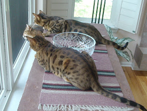 Photo: Here are the 3 kitties watching the purple finch.