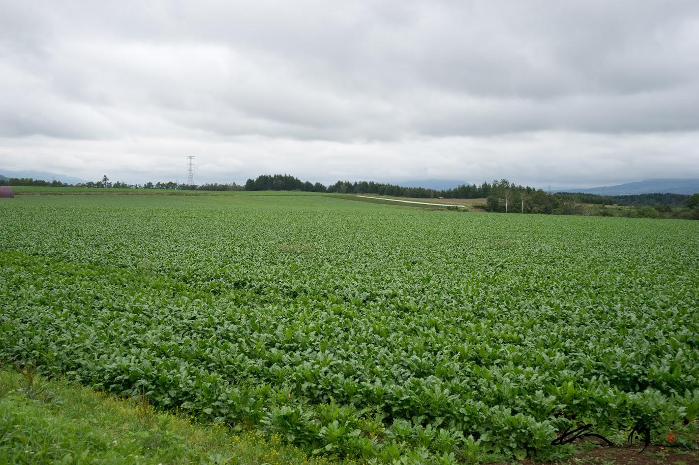 どこまでも続く緑のビート畑