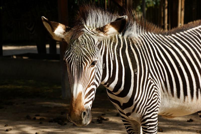 Zebra no Jardim Zoológico de Lisboa