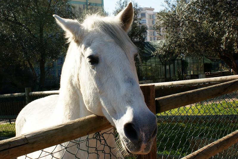 Quinta pedagógica dos OIlivais, cavalo branco