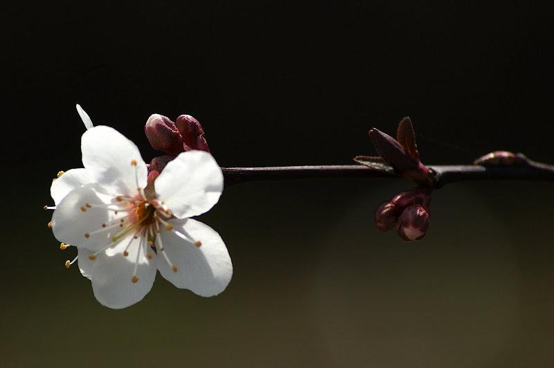 Detalhes da Primavera, flor de ameixoeira