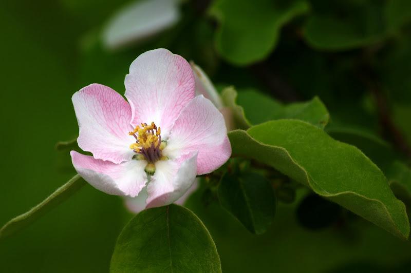 Flor de marmeleiro