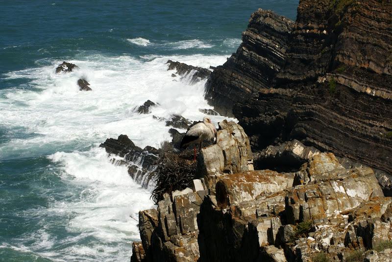 Cegonha no Cabo Sardão