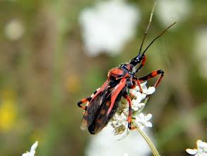 """Photo: Bonjour,  17° et Mistral (vent N-O)  La """"Reduve masquée"""" (Reduvius personatus)- Punaise carnassière - sur """"Docus carotte"""" - 12.08 -"""