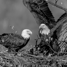 Bald Eagles by Debbie Quick - Black & White Animals ( raptor, debbie quick, nature, bald eagle, nest, debs creative images, new york, birds of prey, outdoors, bird, eagle, animal, nesting, black and white, wild, hudson valley, poughkeepsie, wildlife )
