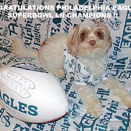 Congratulations Philadelphia Eagles! by Cheryl Beaudoin - Typography Captioned Photos ( football, superbowl, green, white, lii, yorkiepoo, philadelphia, dog, typography, eagles, congratulations,  )