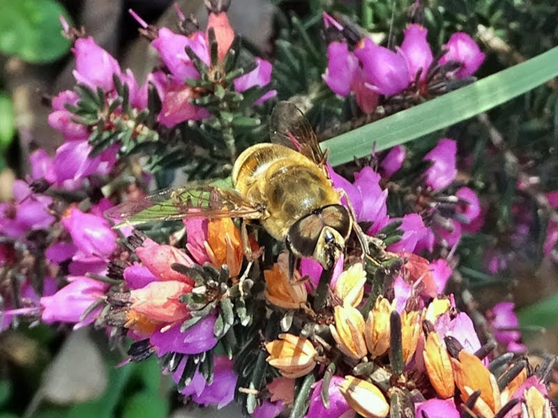 2019-03-22 LüchowSss Garten nachmittags  Mistbiene, Schlammbiene oder Scheinbienen-Keilfleckschwebfliege (Eristalis tenax) auf Winterheide (Erica carnea)