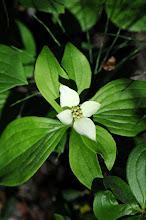 Photo: Dogwood flowers grow everywhere