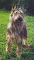 Photo: 2003 Nolf de Lann Guic (Elton de la Hutte aux Diables x Lann de Lann Guic) Prod M Abrassart Prop M Mme Veillard Pedigree: http://www.pawpeds.com/db/?p=bpi&a=p&id=413586&g=4
