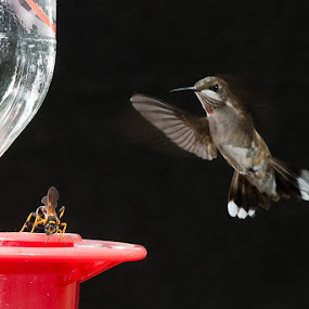 Hummingbird fighting a wasp for a feeder by Eric Peek - Animals Birds ( hummingbird ruby throated kentucky eric peek )