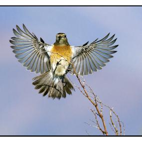Female Stonechat by Louis Groenewald - Animals Birds