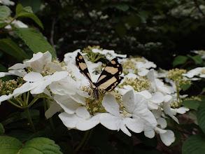 ヤマデブリに蝶