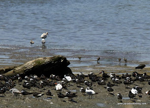 Photo: Black Skimmers, terns, and other waterbirds, Nuevo Vallarta
