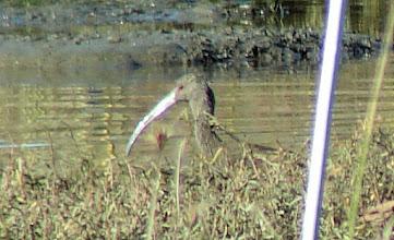 Photo: White-faced ibis - San Elijo Lagoon