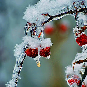 Winter Berries by David Clare - Nature Up Close Other plants ( winter, cold, nature, ice, plants, frozen, berries,  )